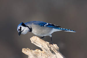 Hungry Blue Jay Perching by AmirNasher
