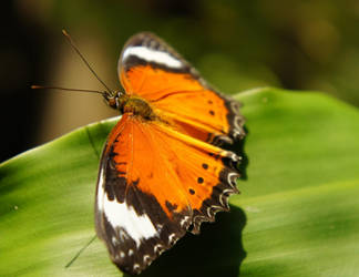 Orange Lacewing by NinthTome