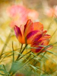 Bagatelle tulips by valeriemonthuit