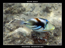 Guam 4 - Picasso Triggerfish by Keith-Killer