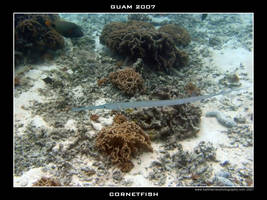 Guam 8 - Cornetfish by Keith-Killer