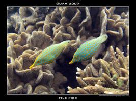 Guam 9 - Filefish by Keith-Killer