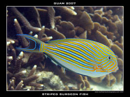 Guam 11 - Striped Surgeonfish by Keith-Killer