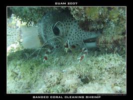 Guam 15 - Banded Coral Shrimp by Keith-Killer