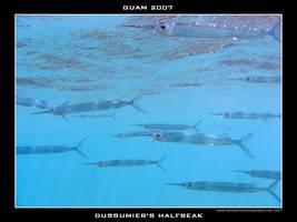 Guam 16 - Halfbeak by Keith-Killer