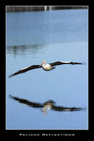 Pelican Reflection by Keith-Killer
