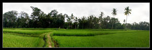 Rice Field Panorama by Keith-Killer