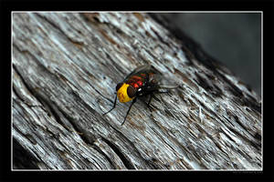 Yellow Face Blow Fly by Keith-Killer