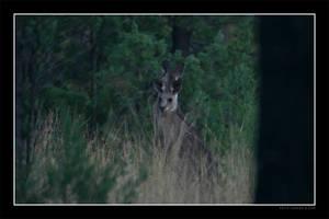 Kangaroos by Keith-Killer