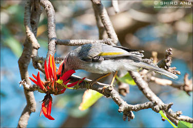 Noisy Miner - 03 by shiroang