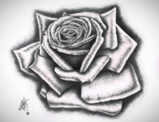 Rose Drawing by calva88