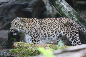 Persian Leopard by Saromei