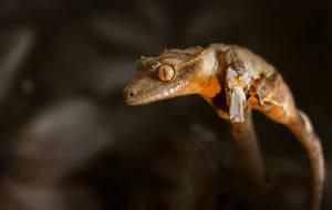 Rhacodactylus ciliatus / Correlophus ciliatus by Threepwoody
