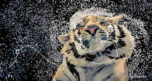Tiger Splash (digital drawing) by kfairbanks