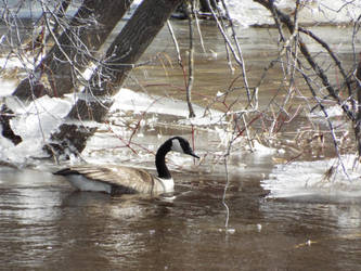 Goose honme before the snow is gone by lasair44