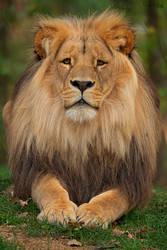 Katanga Lion by Hladik99