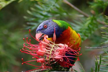 Rainbow Lorikeet Feeding 2 by mfunnell