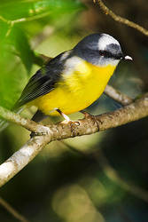 Yellow Robin 6 by mfunnell