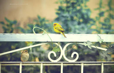 Yellow and brown finches by Cochalita