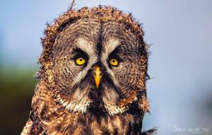 Here is Mr. Grumpy owl again by SvanderHolst