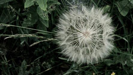 Dandelion by Simplistical