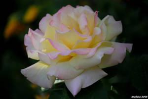 Elegant rose by malaladanila
