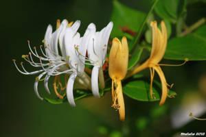 Lonicera japonica by malaladanila