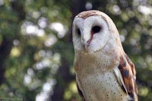Barn Owl II by Chelsey-Dunn
