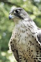Prairie Falcon II by Chelsey-Dunn