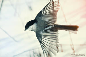 Black-capped Chickadee V (Edited) by Chelsey-Dunn