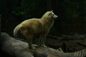 Wuppertal 11 Wolf 3 by Dark-Wolfs-Stock