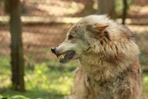 NUP 12 Wolf 4 by Dark-Wolfs-Stock