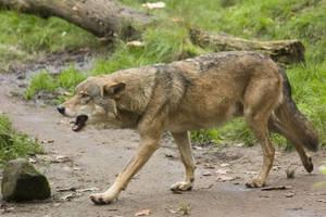 Nordhorn 14 . Wolf 004 by Dark-Wolfs-Stock