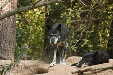 Gangelt 15 - Wolf 2 by Dark-Wolfs-Stock