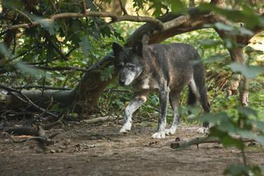 Gangelt 15 - Wolf 3 by Dark-Wolfs-Stock