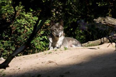 Gangelt 15 - Wolf 4 by Dark-Wolfs-Stock