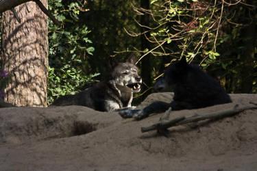 Gangelt 15 - Wolf 5 by Dark-Wolfs-Stock