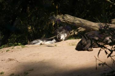 Gangelt 15 - Wolf 8 by Dark-Wolfs-Stock