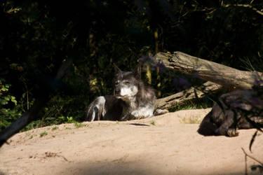 Gangelt 15 - Wolf 9 by Dark-Wolfs-Stock