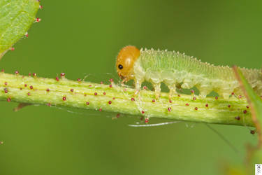 Sawfly Larva Trying To Flee The Scene by The-Dude-L-Bug