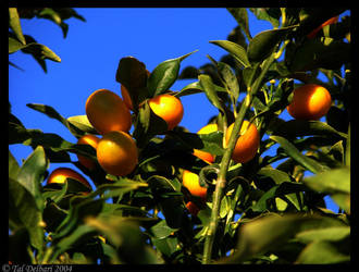 Colorful Oranges by delbarital