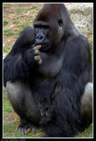 Gorilla by delbarital