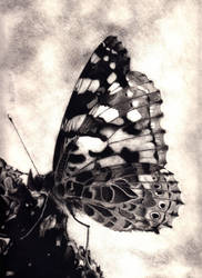 Butterfly in Charcoal by Pusika3