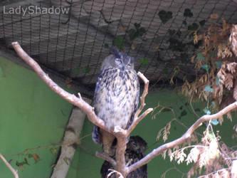 .: Owl .: by X-LadyShadow-X