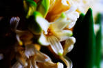 Hyacinth in Bloom by stofo