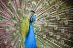 Peacock by SP4RTI4TE