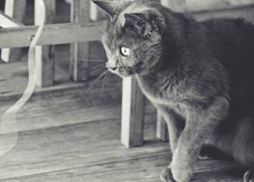 276/365 Cat by photographybyteri
