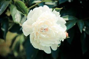 277/365 Blossom by photographybyteri