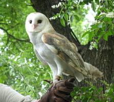 Barn Owl Stock by ivorydragoness