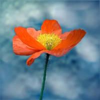 the poppy by hv1234